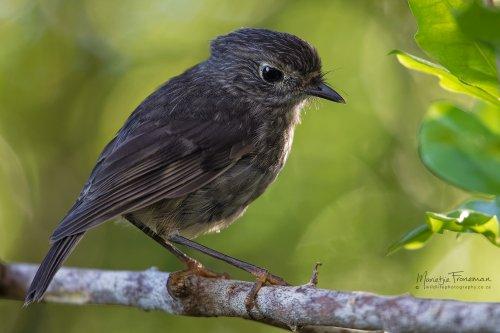 Brown Robin