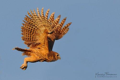 Pels Fishing-owl